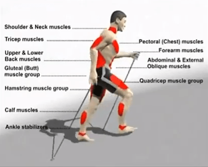 Image of muscles used when walking